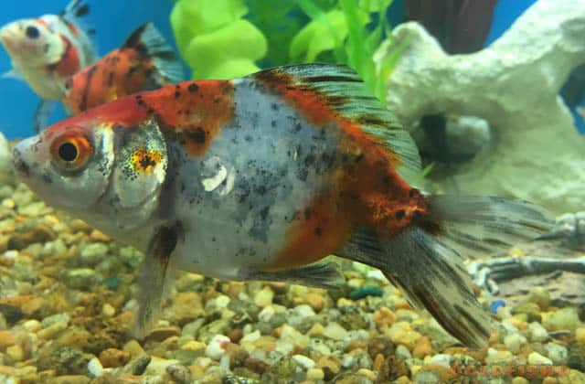 side view calico goldfish