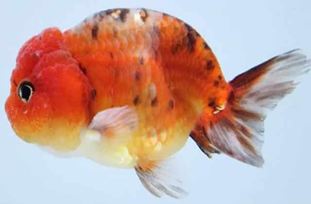 side view lionhead goldfish