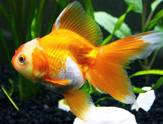 side view orange and white veiltail goldfish