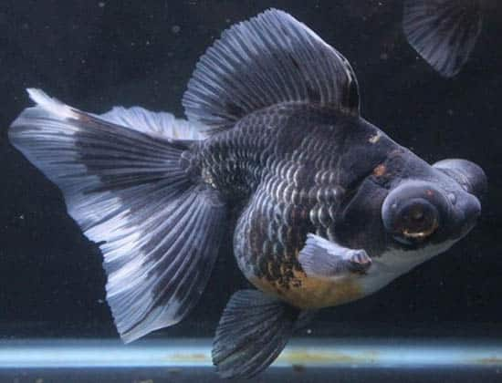 side view silver gray butterfly fish 2
