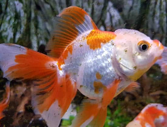 spotted orange and white veiltail goldfish