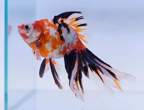 tri colored veiltail goldfish