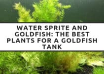 water sprite and goldfish the best plants for a goldfish tank