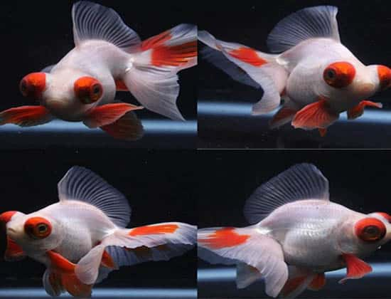 white and orange butterfly goldfish