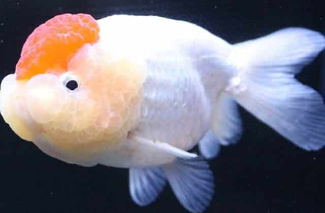 white and orange lionhead goldfish