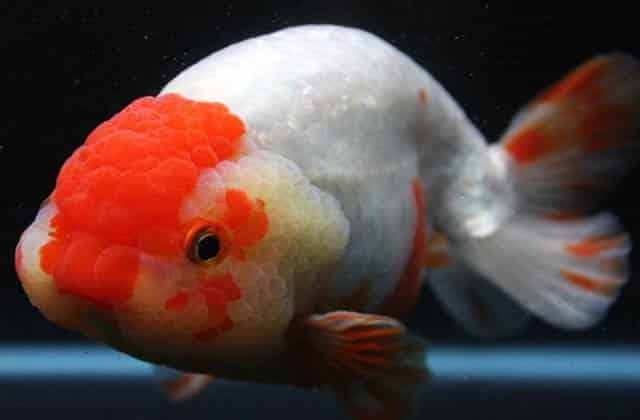 white and red lionhead goldfish