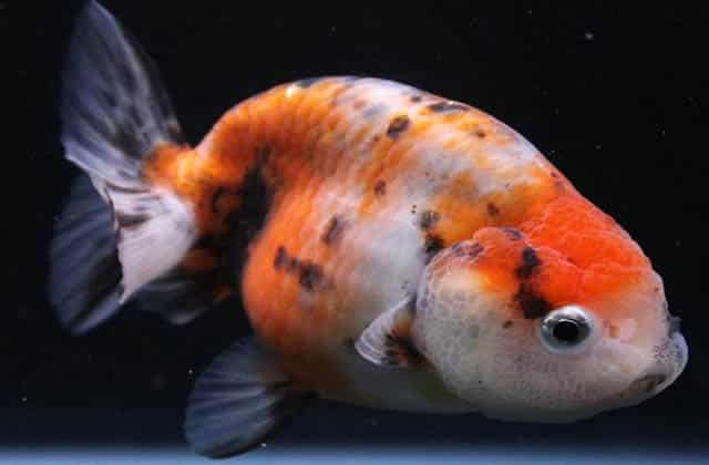 white red black lionhead goldfish