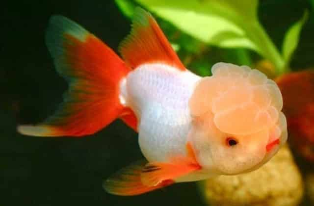 Oranda Goldfish - Oranda Fancy Goldfish Information and Care