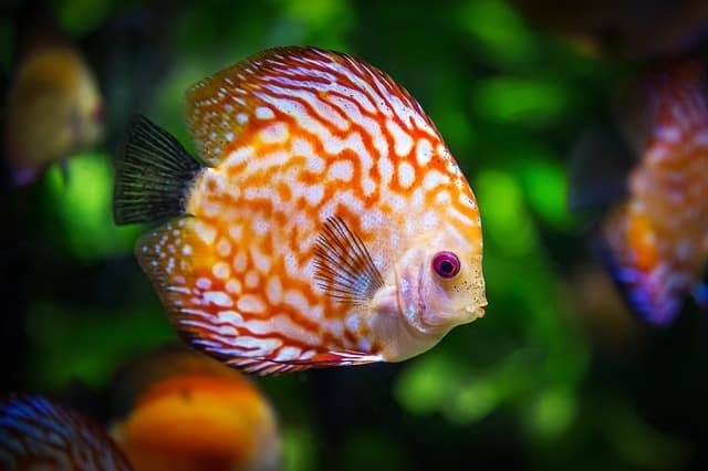 orange and white discus fish