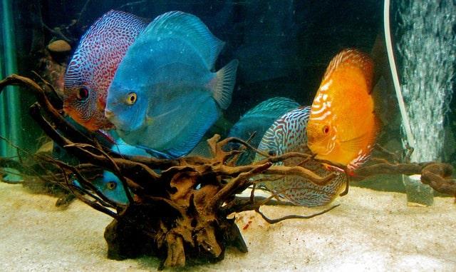 multiple discus fish