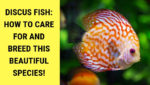 Discus Fish: How To Care For And Breed This Beautiful Species!