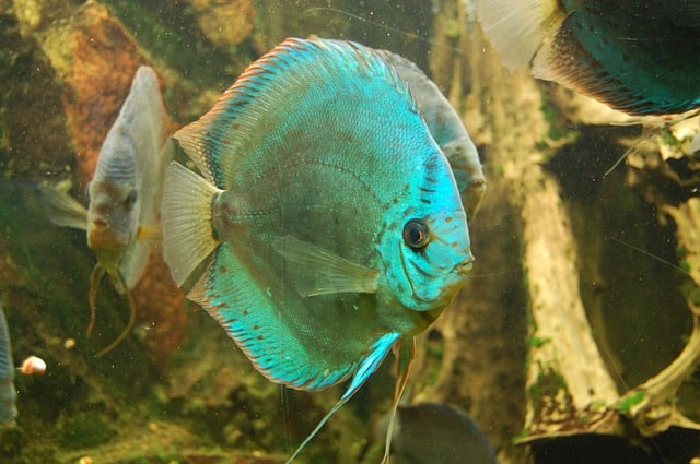 neon blue and green discus fish
