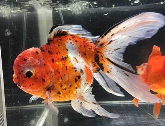 goldfishlover_20 1