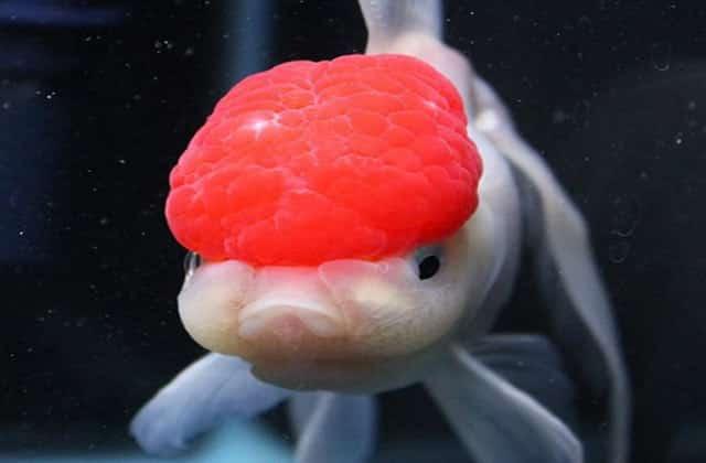 Oranda Goldfish - Oranda Fancy Goldfish Information and Care