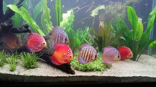 schooling discus fish