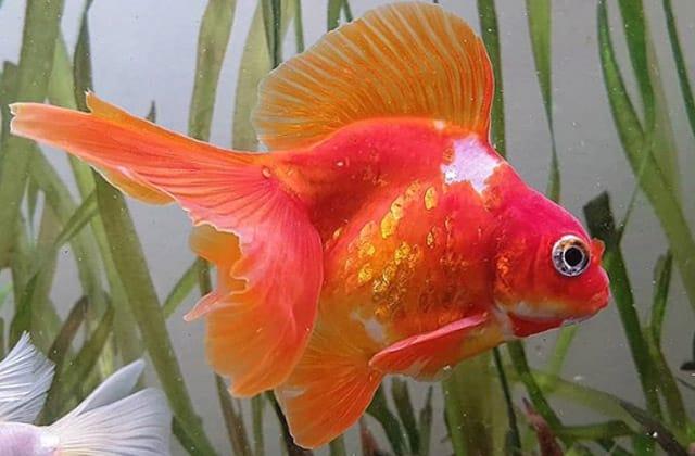 fancy goldfish pics