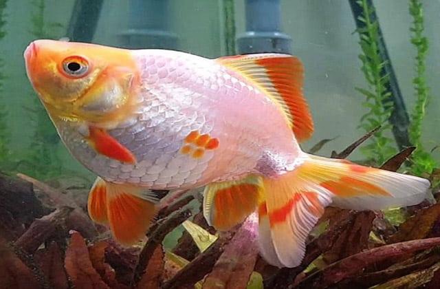 fancy goldfish photos