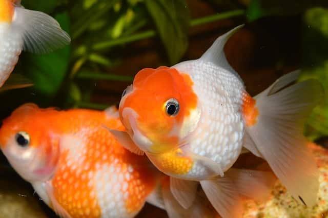 orange and white balloon goldfish