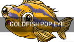 Goldfish Pop Eye Disease: Cause, Symptoms and Treatment