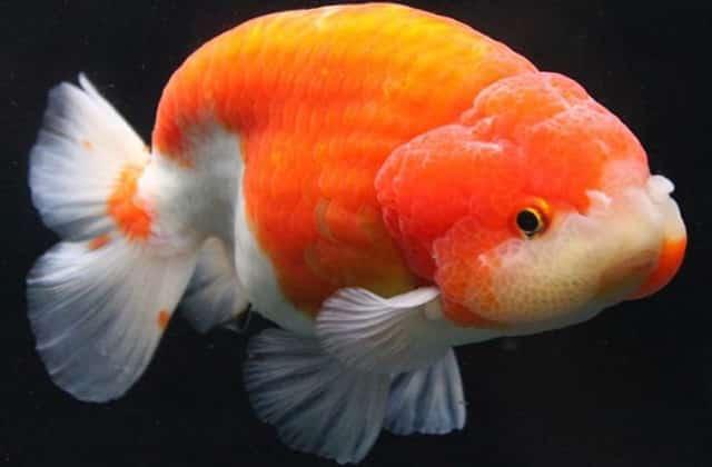 king koi goldfish pic 1