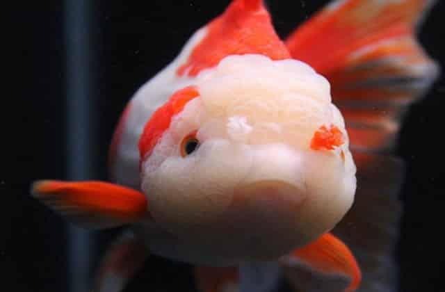 king koi goldfish pic 2