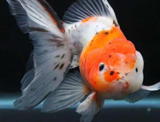 kingkoigoldfish pic 5