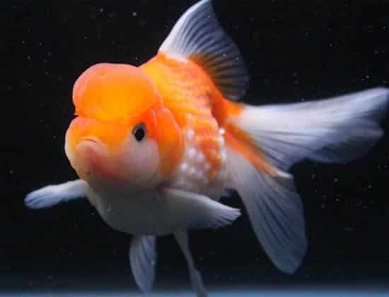 kingkoigoldfish pic 7