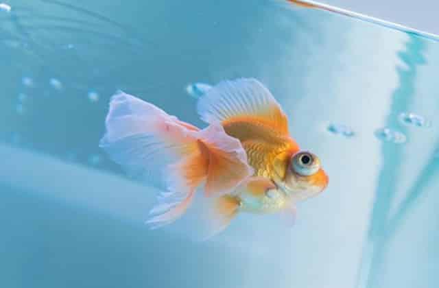 chubby goldfish