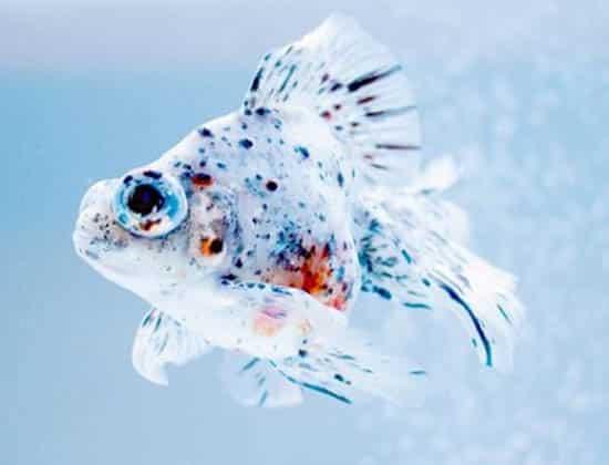 pop eye aquarium fish disease