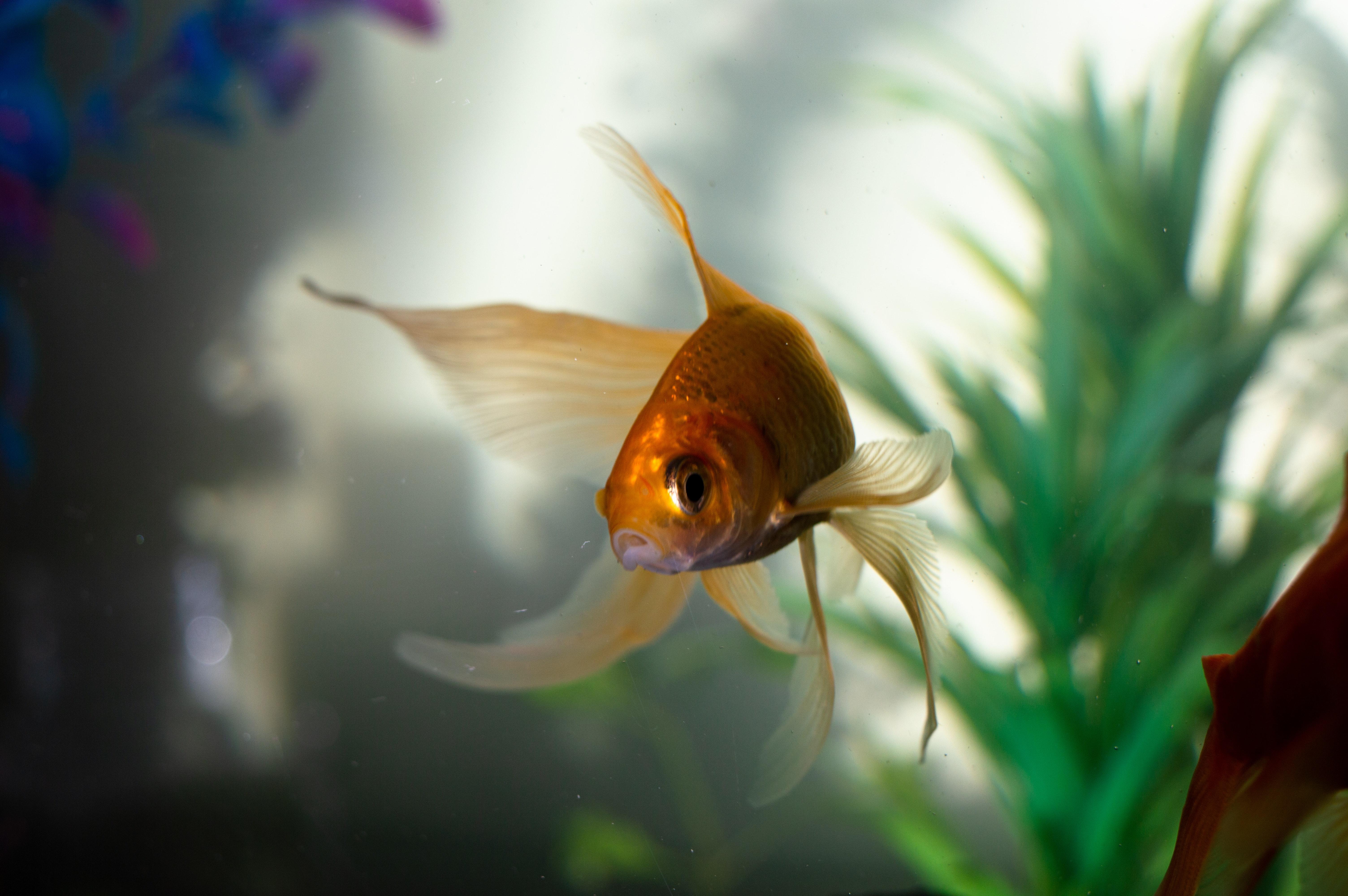 goldfish inside fish tank
