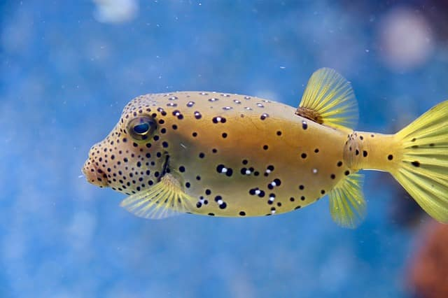 spotted yellow puffer fish