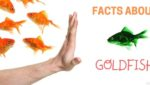40 Fun Goldfish Facts
