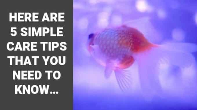 have pet goldfish here are 5 simple care tips that you need to know fi