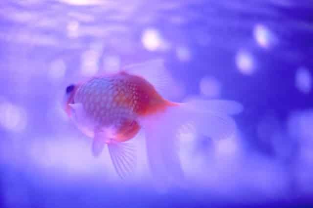 how big are goldfish