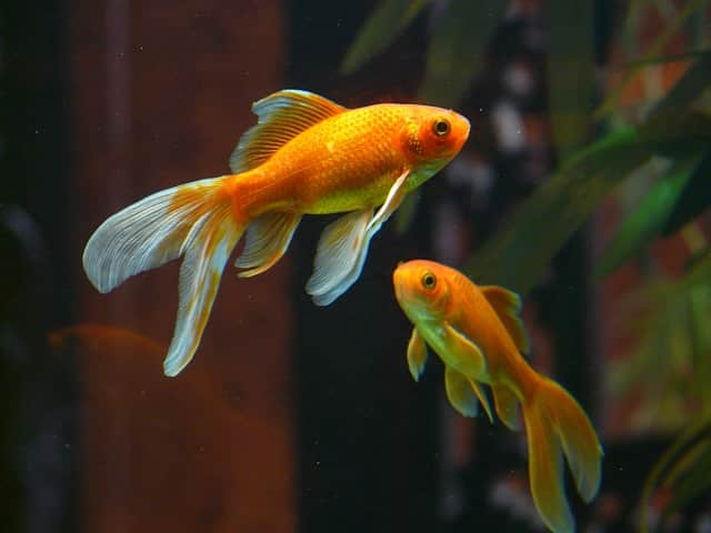 two veiltail goldfish