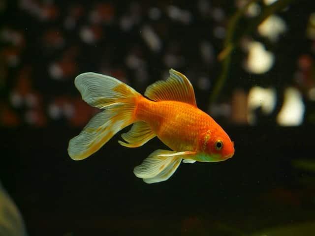 veiltail orange goldfish