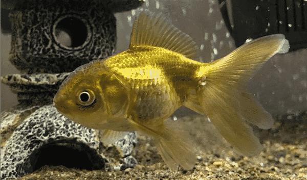 goldfish photo