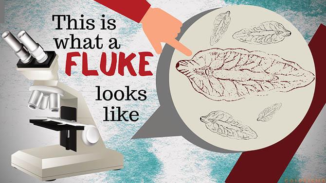 fluke in goldfish