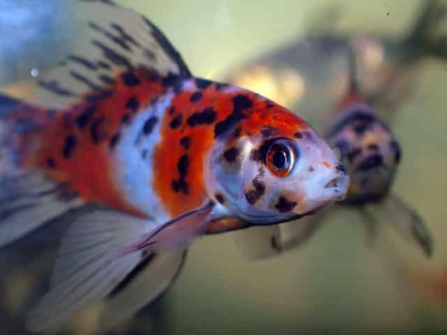 shubunkin goldfish photo