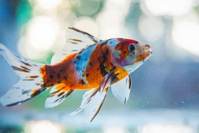 shubunkin goldfish pic