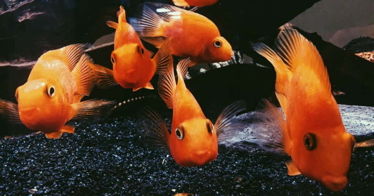 Other Fish Species Compatible with Goldfish