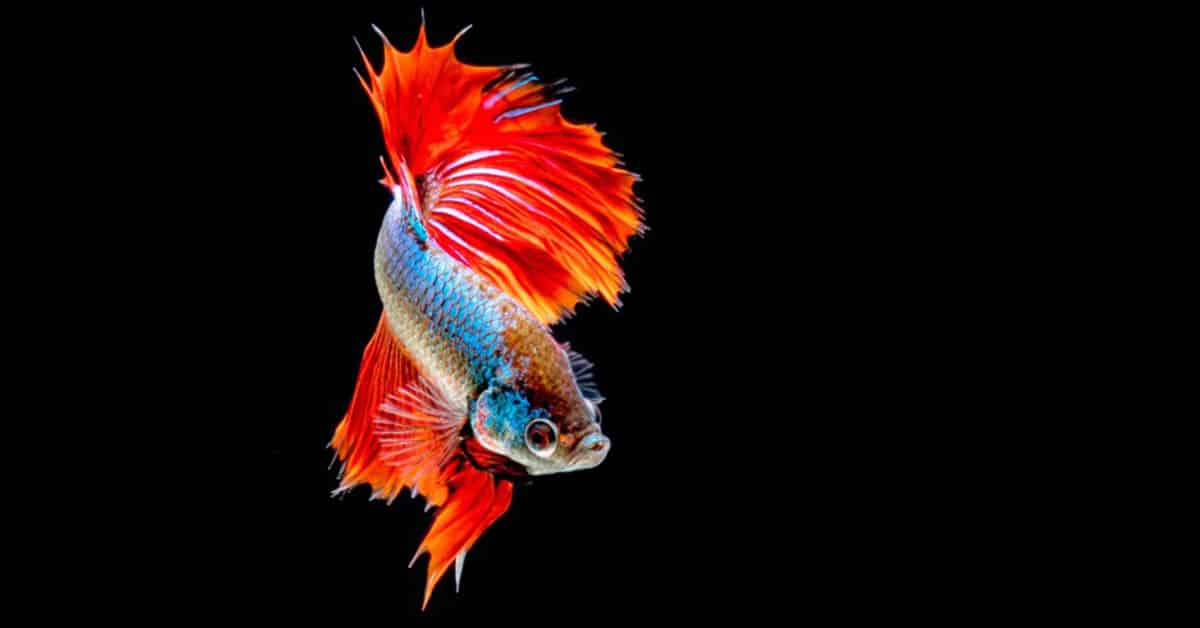 are betta fish good with goldfish