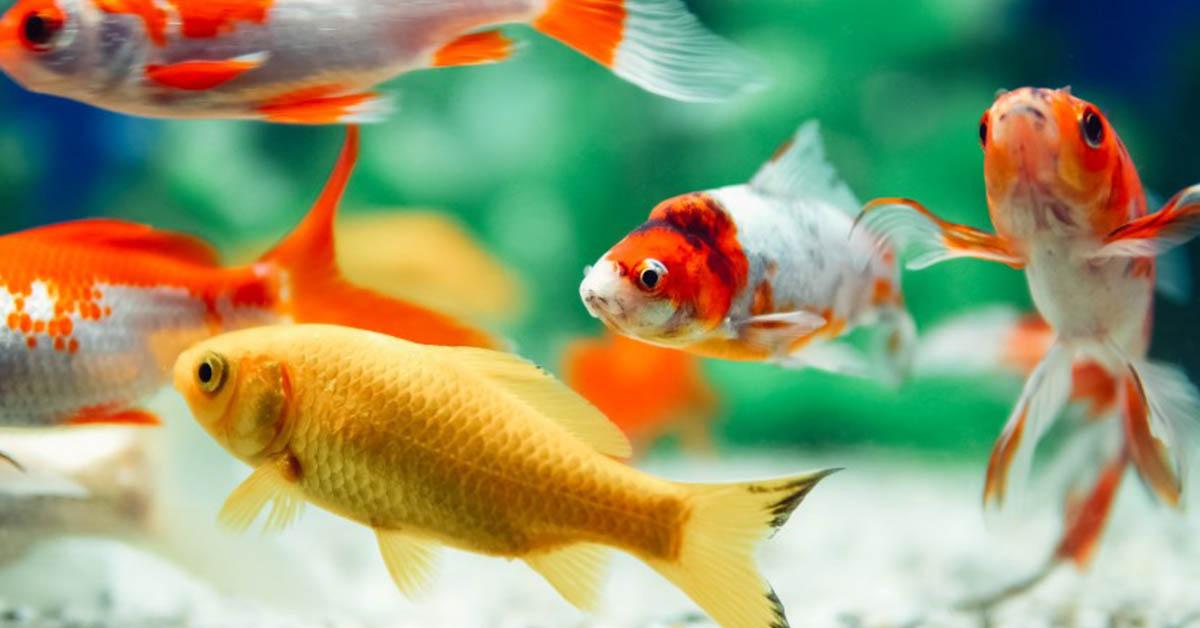 are goldfish sociable fish