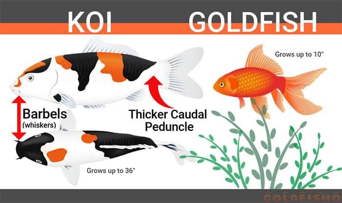 breeding koi and goldfish