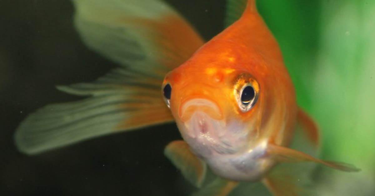 can goldfish get depressed