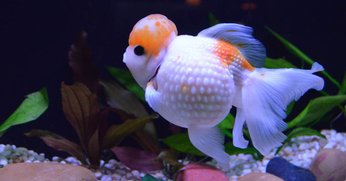 difference between streamline-bodied and egg-shaped goldfish
