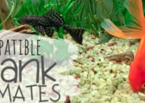 goldfish tankmates _