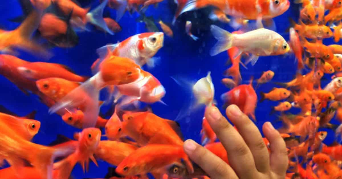 how to choose the perfect goldfish