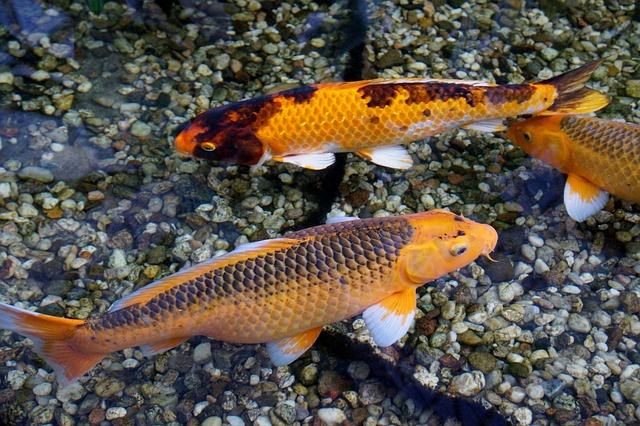 koi fish breeding