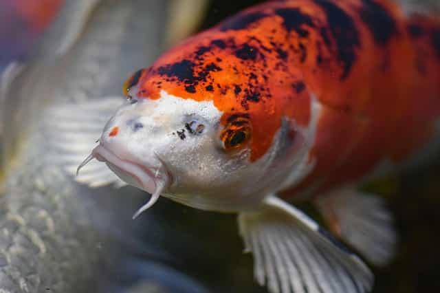 koi goldfish hybrid